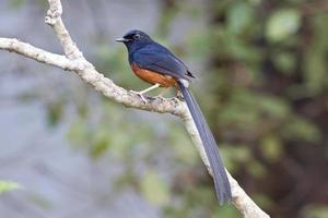 shama dalla groppa bianca, uccello della Tailandia foto
