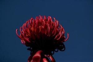 fiore di Waratah foto