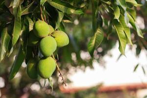 mazzo di mango acerbo verde sull'albero di mango foto