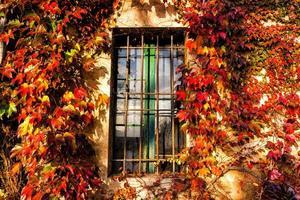 edera di Boston e finestra della griglia del ferro foto