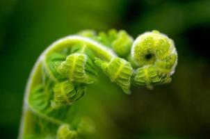 giovane foglia di felce tropicale - Indonesia foto