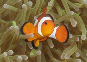 pesce pagliaccio ocellaris foto