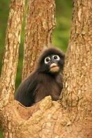Langur dagli occhiali che si siede in un albero, Tailandia foto