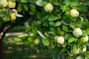albero di mele cotogne in un giardino biologico