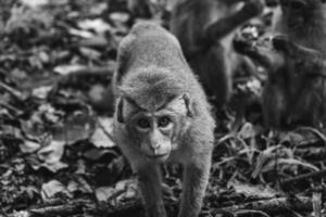 la scimmia di macaco curiosa selvaggia si avvicina alla macchina fotografica
