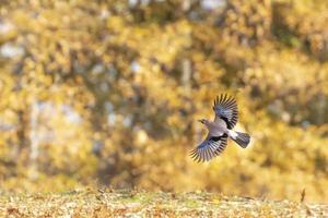un uccello jay in volo foto