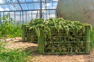 cassa piena di erbacce in una serra foto