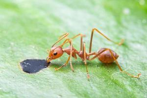 formica macro su foglia verde foto
