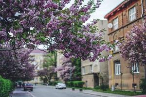 Sakura rosa, albero in fiore di ciliegio foto