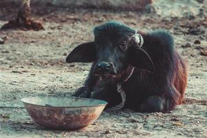 Mucca del villaggio a Sindh, in Pakistan