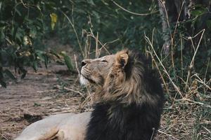 il leone maschio si rilassa sull'erba foto