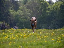 Ridgeback rhodesian che corre verso la telecamera