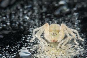 macro ragno giallo