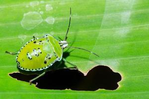 macro bug puzza sulla foglia foto