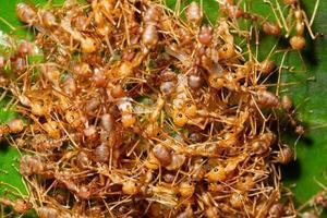 colonia di formiche macro foto