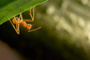 formica rossa su foglia foto