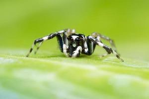 ragno di salto su foglia verde foto