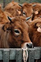 mucca marrone accanto al recinto foto