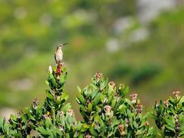 Capo Sugarbird appollaiato sul cespuglio foto