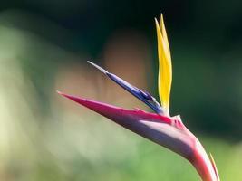 primo piano di uccello del paradiso foto