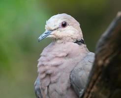 primo piano della colomba dagli occhi rossi