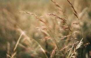 luce pomeridiana nel campo di grano foto