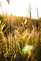 campo di grano con i raggi del sole