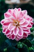 primo piano del fiore rosa della dalia