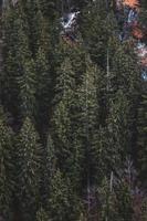 gruppo di alberi di pino