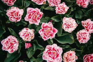 fiori rosa con petali