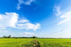 un percorso a piedi in un campo di grano verde conduce a una serie di alberi