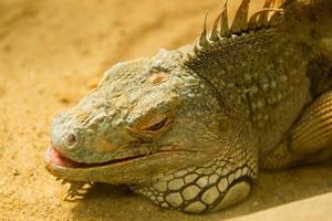 Iguana che dorme nella sabbia