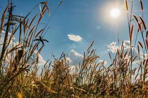 sole che splende su un campo di erba di grano foto