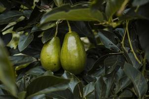 primo piano della pianta di avocado foto