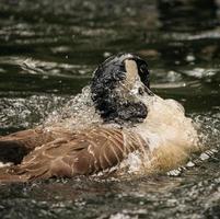 anatra marrone sull'acqua foto