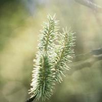 ramo di un albero di pino foto