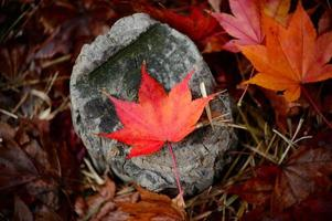 foglia rossa sul tronco d'albero grigio foto