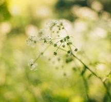 fiori bianchi in erba foto