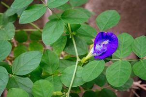 fiore di pisello di farfalla