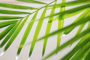 foglie di palma verdi foto