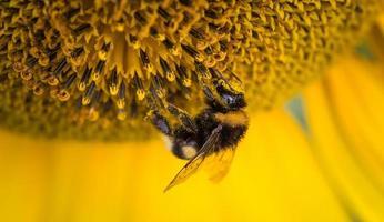 ape mellifica su un fiore