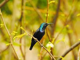colibrì sul ramo foto