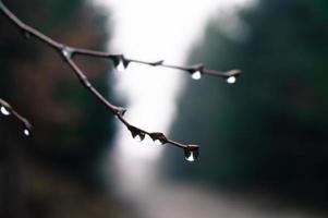 ramo di un albero con gocce d'acqua