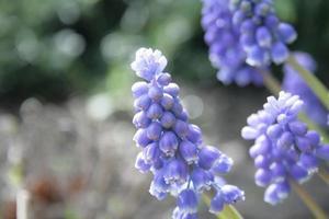 primo piano dei giacinti di uva foto
