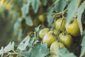 primo piano di pomodori verdi foto