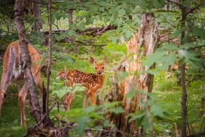 cervo nella foresta verde