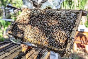 sciame di api foto