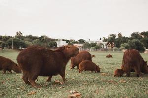 capibara marrone sul campo di erba verde foto
