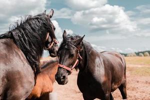 tre cavalli marroni al pascolo