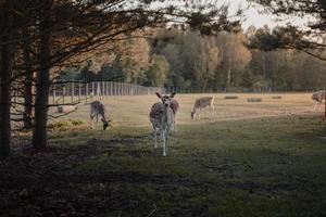 il cervo bruno si avvicina allo spettatore